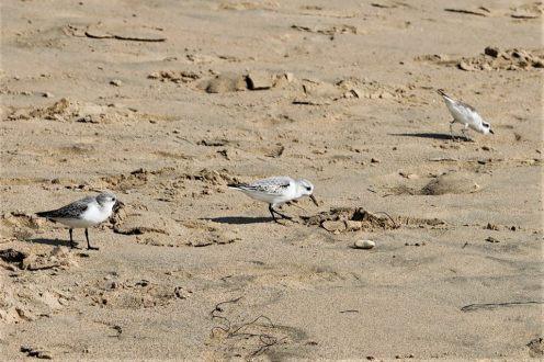 little birds Newport Beach 2018